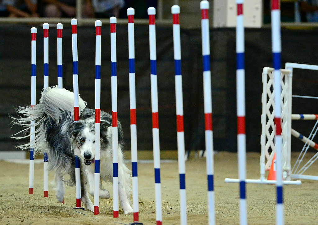 ". Sage, a Border Collie, makes her way through the agility course with her owner Jen Bailey, not shown, during the 20"" jumpers with weaves agility dog competition at the Denver County Fair at the National Western Complex in Denver, CO on August 3rd, 2014.  This was the last day of the fair which included dancing, singing, dog agility courses, freak shows, and pie eating contests. (Photo by Helen H. Richardson/The Denver Post)"
