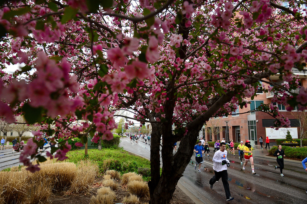 """. Runners participating in the 32nd annual Cherry Creek Sneak in Denver weathered rain, wind and cold conditions but also hints of spring with blossoming crab apple trees as they headed toward the finish line along East 1st Ave in Cherry Creek in Denver on April 27, 2014.  The \""""Sneak\"""" included a 10 mile, a 5k and a 5-mile race.  (Photo By Helen H. Richardson/ The Denver Post)"""