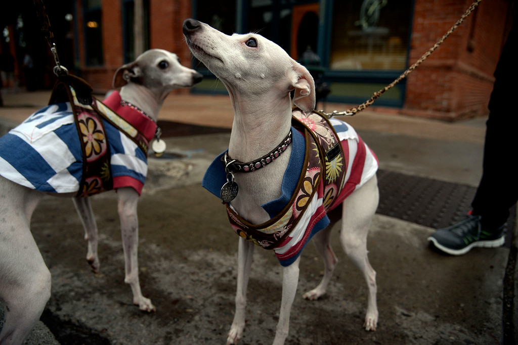 . Jazzy and Lulu the Italian Greyhounds support riders before their start in Aspen for stage 2 en route to Crested Butte. The USA Pro Challenge stage 2 on Tuesday, August 19, 2014. (Photo by AAron Ontiveroz/The Denver Post)