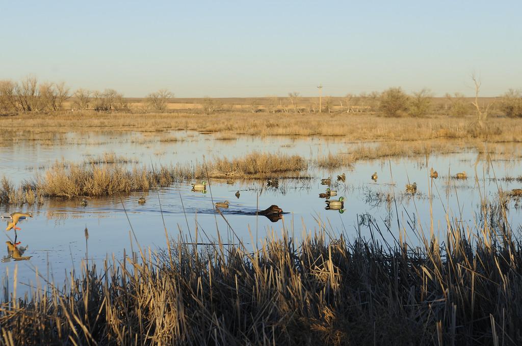 . Bailey navigates through a decoy spread after retrieving a mallard hen during a duck hunt near Jackson Lake State Park last Wednesday. Scott Willoughby, The Denver Post