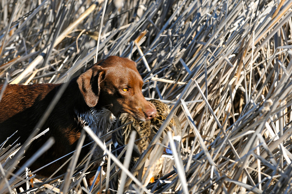 """. Bailey works her way through the reeds after retrieving a mallard hen taken during a recent duck hunt in the \""""Golden Triangle\"""" surrounding Jackson Lake State Park. Scott Willoughby, The Denver Post"""