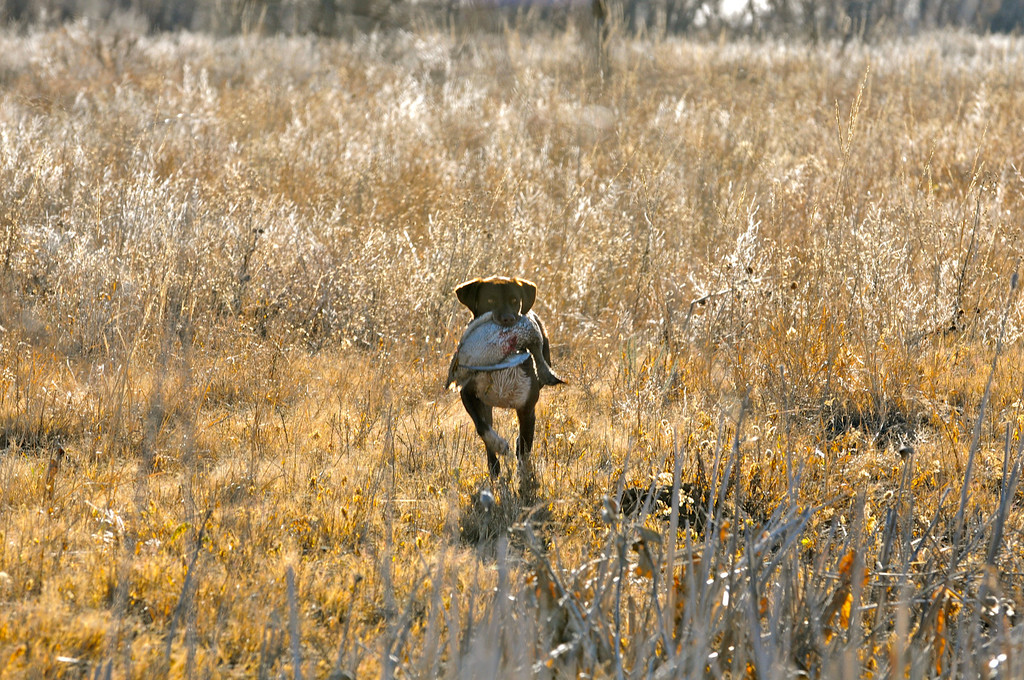 . Bailey retrieves a mallard hen taken during a morning duck hunt near Jackson Lake State Park last week. More mallards have been moving through northeast Colorado as the first split for duck season nears its close on Dec. 2. Scott Willoughby, The Denver Post