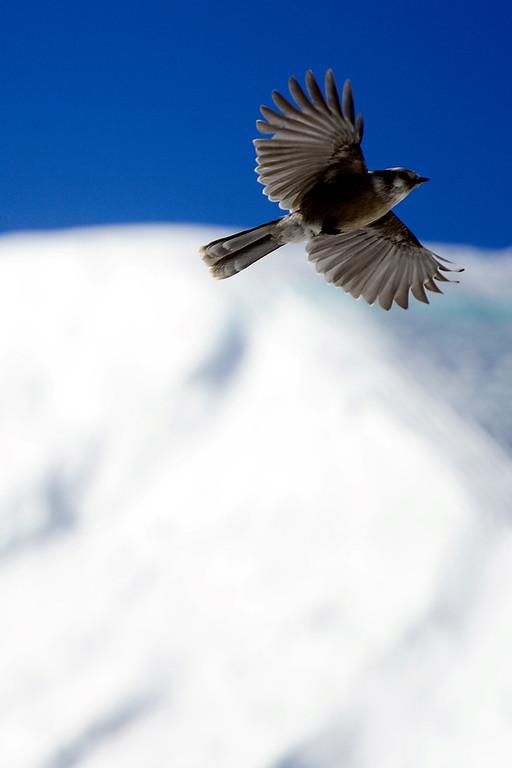 . A bird flies as athletes ski during the men\'s ski slopestyle finalduring the Dew Tour men\'s ski slopestyle at Breckenridge Ski Resort on Sunday, December 15, 2013.(Photo by AAron Ontiveroz/The Denver Post)