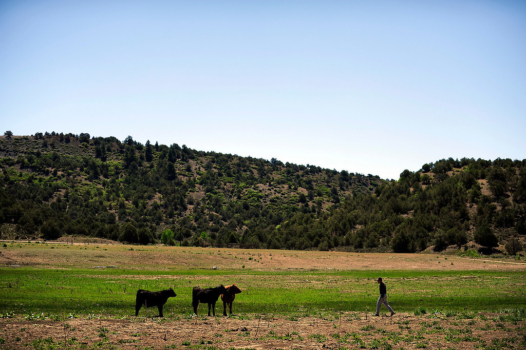 . PAGOSA SPRINGS, CO. - MAY 6: Michael Martinez, 27, herds his family\'s cows back over to the field he wants them in at his family ranch in Pagosa Springs, on May 6, 2013. Martinez was staying in his family\'s camper on the ranch in April when the camper exploded due to a propane leak when Martinez lit a match in the middle of the night to start a burner.  (Photo By Mahala Gaylord/The Denver Post)