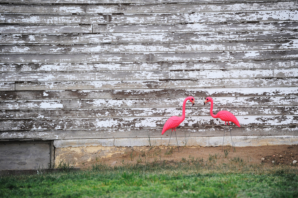 . HASWELL, CO - MAY 29:  A pair of plastic pick flamingos on the side of a home in Haswell, Colorado Wednesday May 29, 2013. The Intel Corporation, an American multi-national semiconductor computer chip maker, has codenamed their latest and greatest new chip after the small town of Haswell.  (Photo By Andy Cross/The Denver Post)