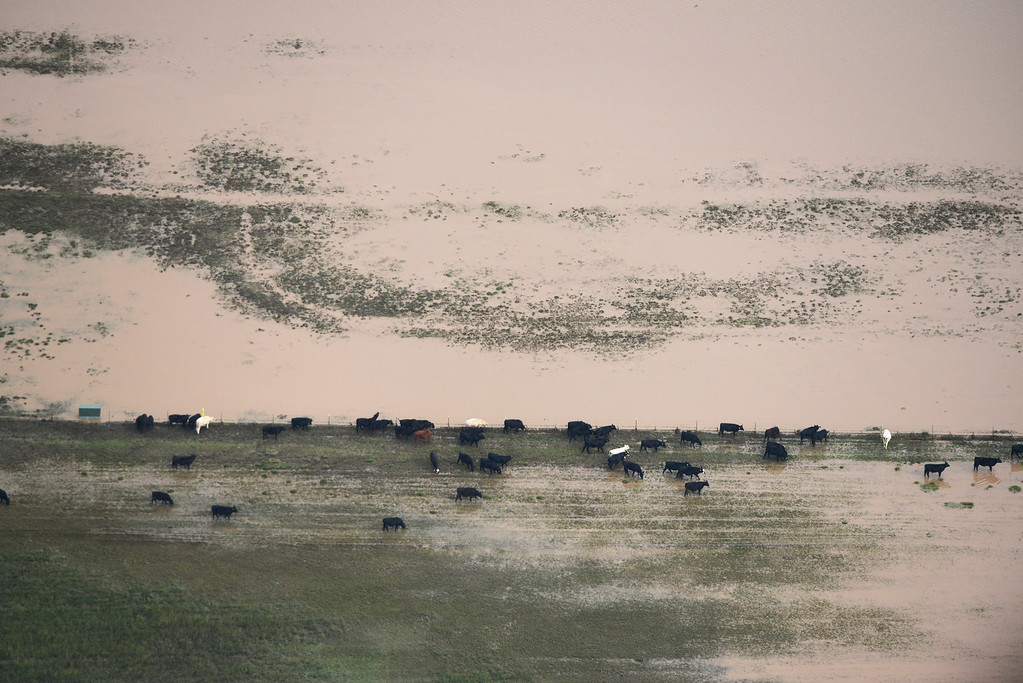 . Cows find land that water has receded from on a flooded farm Weld County Colorado Saturday morning, September 14, 2103. (Photo By Andy Cross/The Denver Post)