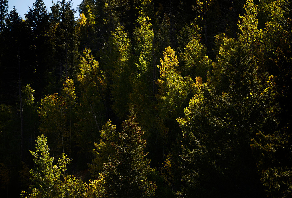 . CENTRAL CITY, CO - SEPTEMBER 28: Aspen trees changing colors near Central City Colorado along the Central City Parkway Saturday morning, September 28, 2103. (Photo By Andy Cross/The Denver Post)