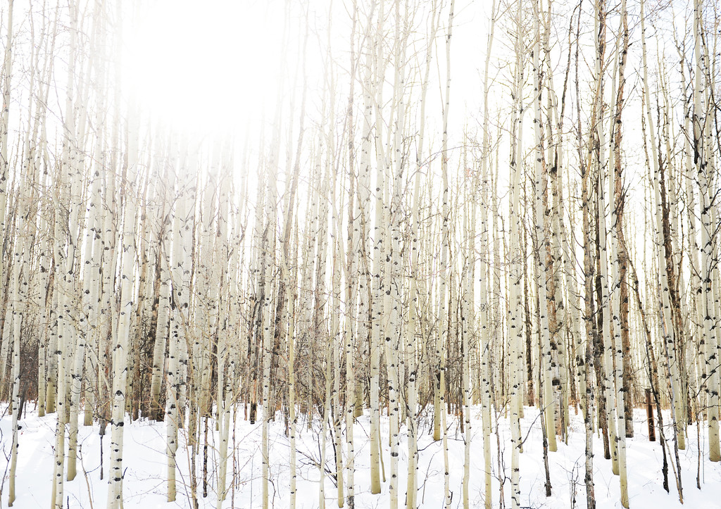 . The sun shines through aspen trees on Gore Pass, December 19, 2013. The pass crosses a gap in the northern end of the Gore Range in southwestern Grand County west of Kremmling (Photo by RJ Sangosti/The Denver Post)