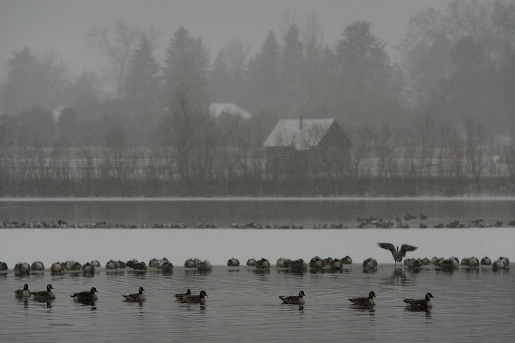 . LITTLETON, CO. - JANUARY 04: Geese rest on Ketring Lake in Littleton, CO January 04, 2014. Temperatures will linger in the low 20s Saturday as a storm drops anywhere from 3 to 5 inches of snow in the Denver metro area, forecasters say.(Photo By Craig F. Walker / The Denver Post)