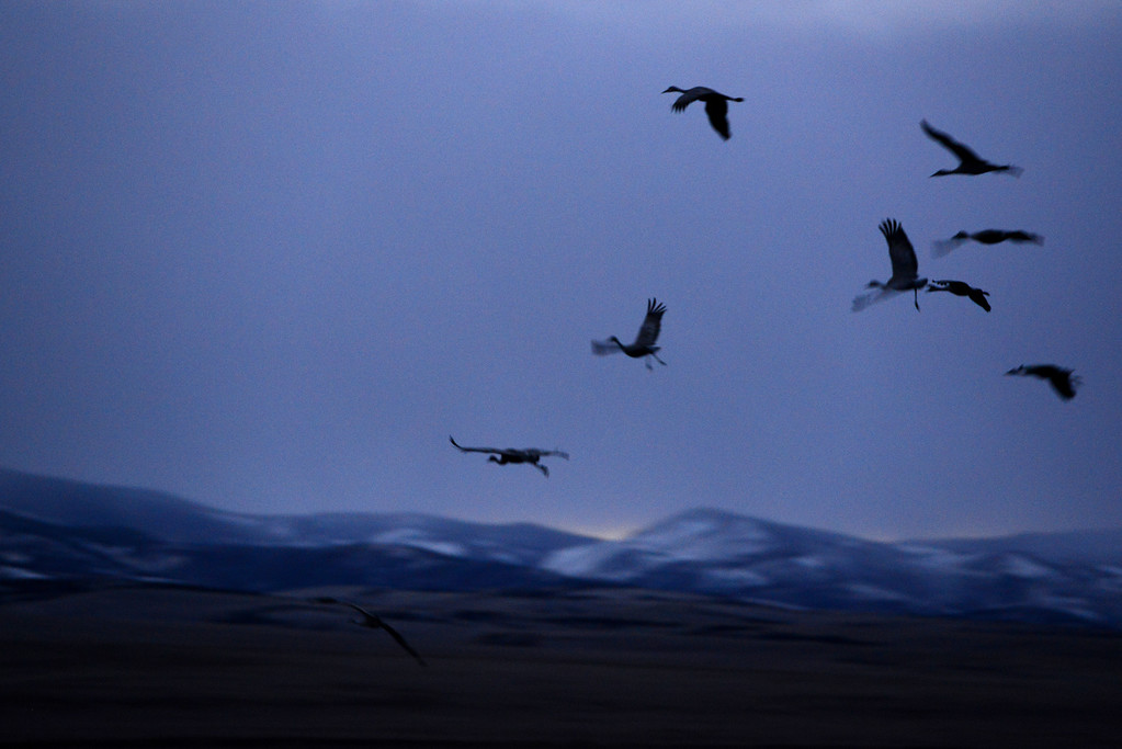 . Monte Vista, CO - March 7:  Colorado\'s San Luis Valley revels every spring as 20,000 Sandhill cranes hang out for a month at the Monte Vista National Wildlife - an established artificial haven where people place barley and pump up water from underground aquifers to create the massive marshes the birds need to gain energy for the migration north. The cranes eat and gain strength for breeding up north in Idaho, Montana and Wyoming. A new Colorado rule limiting pumping of aquifer water in San Luis Valley could endanger the habitat. (Photo By Lindsay Pierce/The Denver Post)
