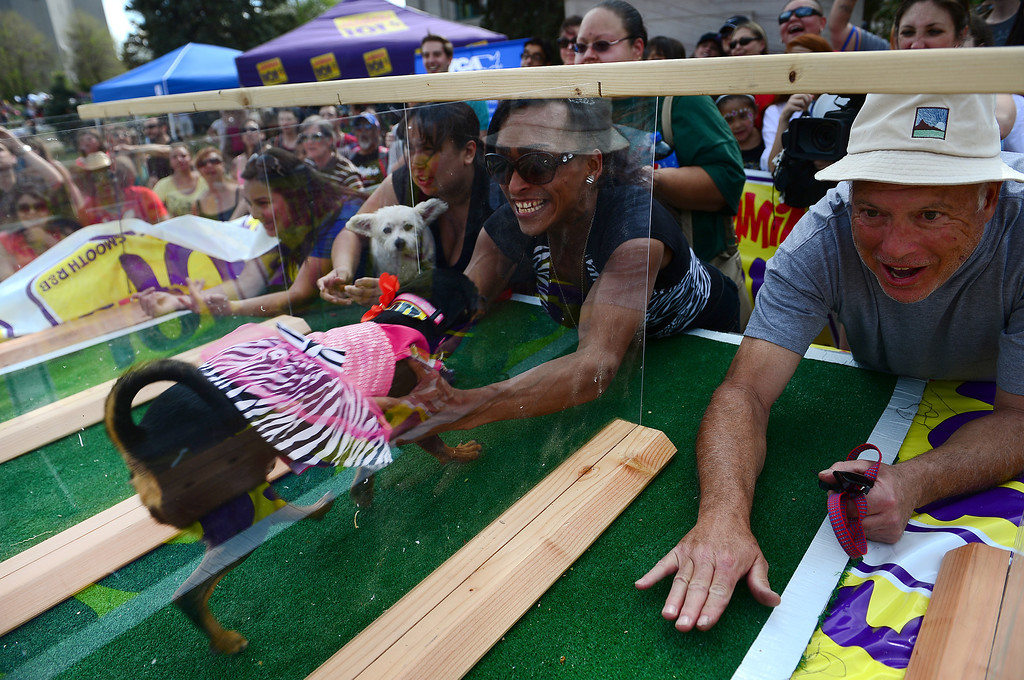 . Owner Angel Camacho  grabs her dog Carmela after winning their heat during the chihuahua dog races at the Cinco de Mayo celebrations at Civic Center Park in Denver, CO on May 24 2014. The prize for the fastest chihuahua to finish the course was $500.  (Photo By Helen H. Richardson/ The Denver Post)