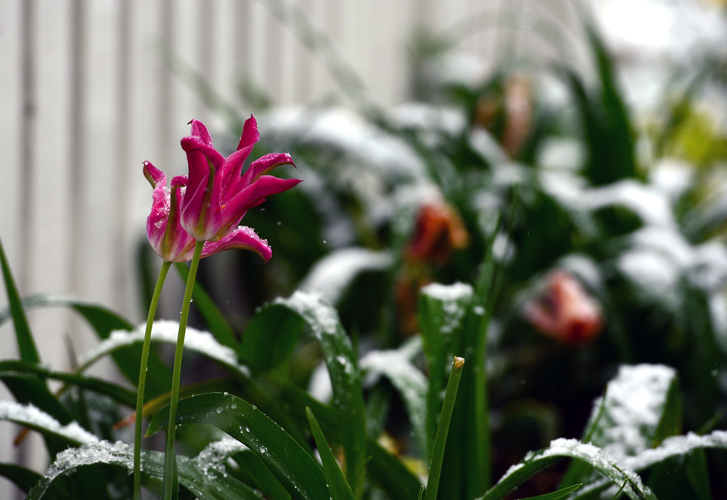 . Spring flowers are coated with snow along 9th street in Boulder, CO on May 11, 2014. amidst big fat wet snowflakes.  (Photo By Helen H. Richardson/ The Denver Post)