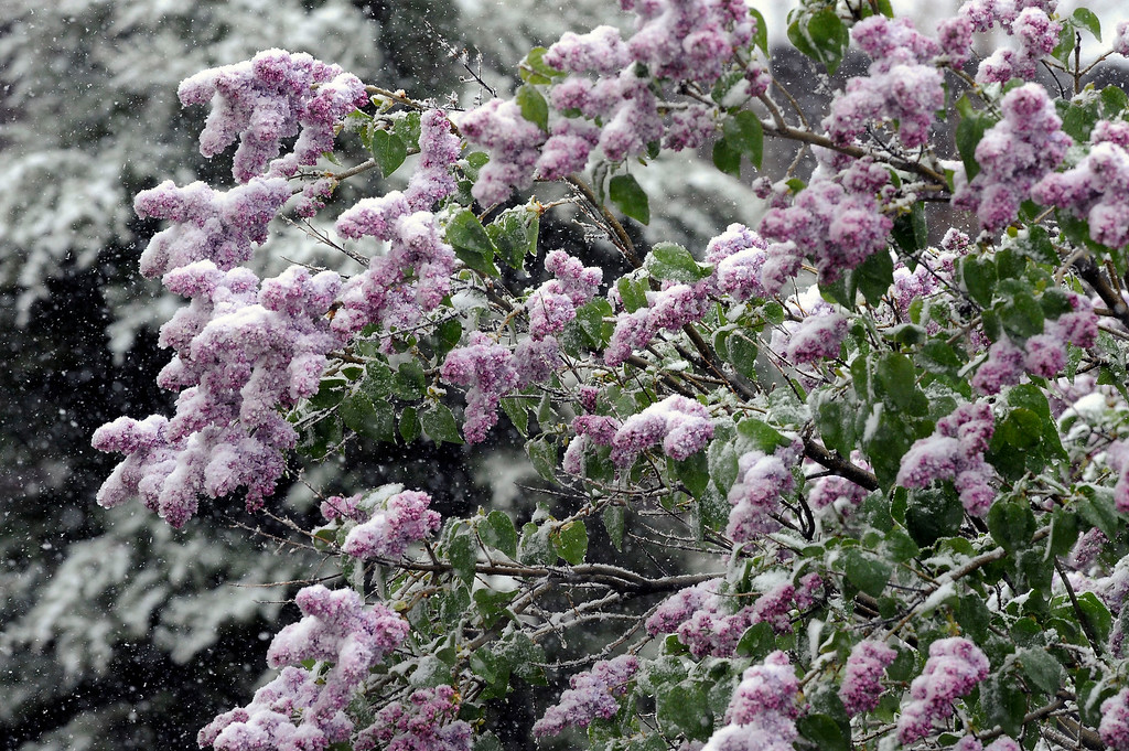 . Spring and winter collide as a heavy wet snowstorm hit Colorado on Mothers day covering blooms and blossoms. (Photo By Steve Nehf / The Denver Post)