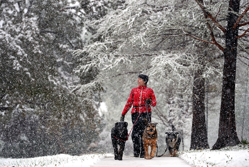 . Marti Matsch walks her three dogs, from left to right, Boris,  Cleo, and Leila along 9th street in Boulder, CO on May 11, 2014. amidst big fat wet snowflakes.  (Photo By Helen H. Richardson/ The Denver Post)
