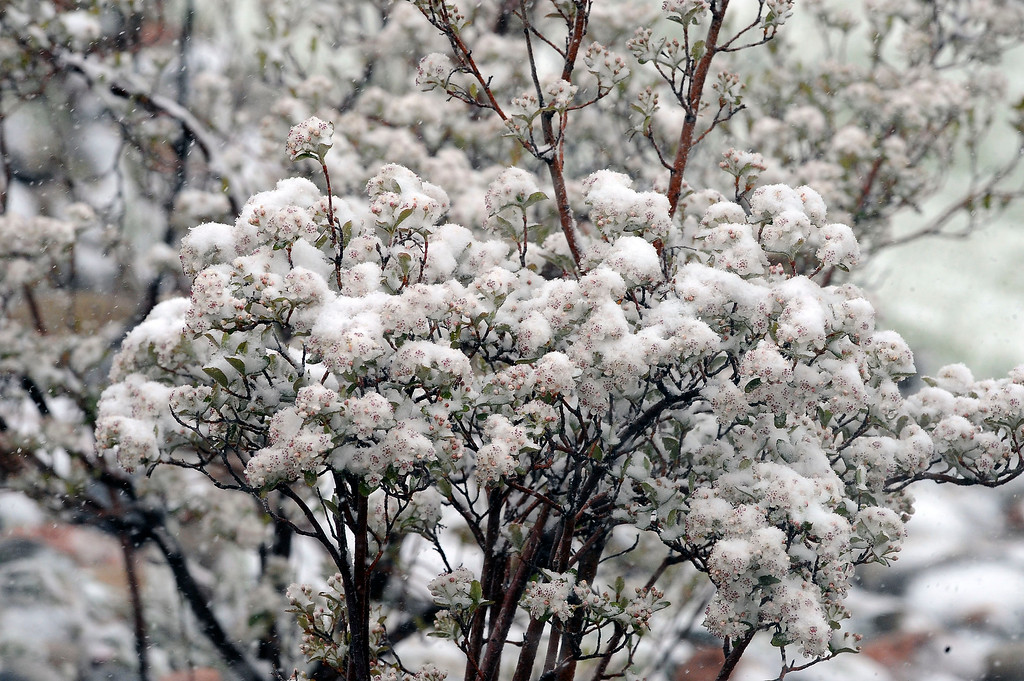 . Spring and winter collide as a heavy wet snowstorm hit Colorado on Mothers day covering blooms and blossoms and tulips. (Photo By Steve Nehf / The Denver Post)