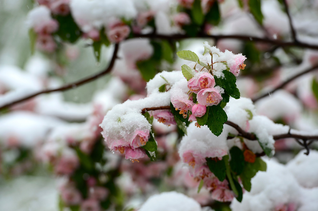 . Spring blossoms on trees are coated with snow along 9th street in Boulder, CO on May 11, 2014. amidst big fat wet snowflakes.   (Photo By Helen H. Richardson/ The Denver Post)