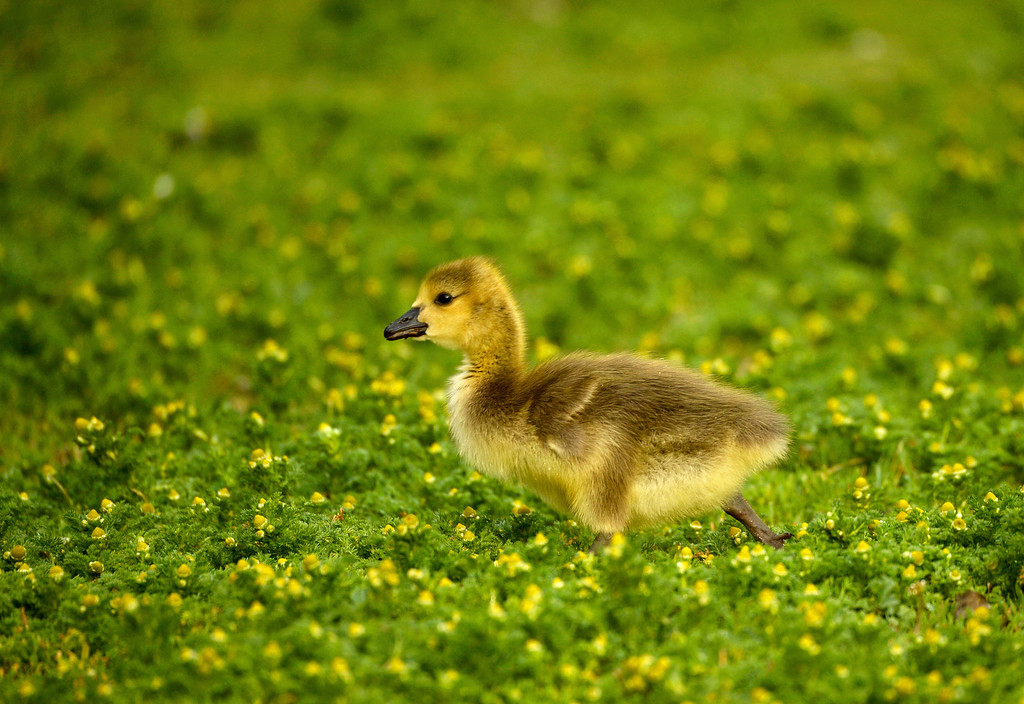 . A gosling hunts for food at Washington Park in Denver, May 15, 2014. (Photo by RJ Sangosti/The Denver Post)