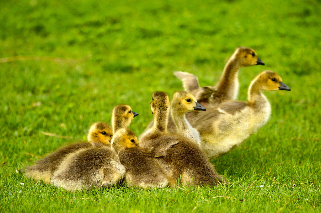 . A gaggle of goslings huddle up to stay warm at Washington Park in Denver, May 15, 2014.  (Photo by RJ Sangosti/The Denver Post)