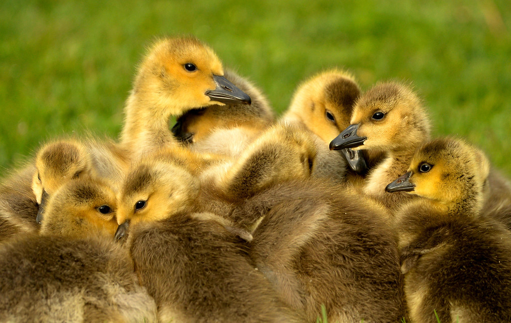 . A gaggle of goslings huddle up to stay warm at Washington Park in Denver, May 15, 2014. The goslings will feed on the parks grass much of the day to gain strength. (Photo by RJ Sangosti/The Denver Post)