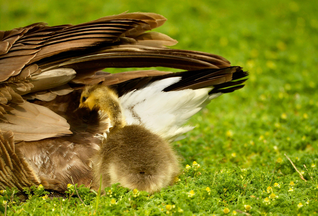 . A gosling plays in her mothers tail feathers at Washington Park in Denver, May 15, 2014. The goslings will feed on the parks grass much of the day to gain strength. (Photo by RJ Sangosti/The Denver Post)
