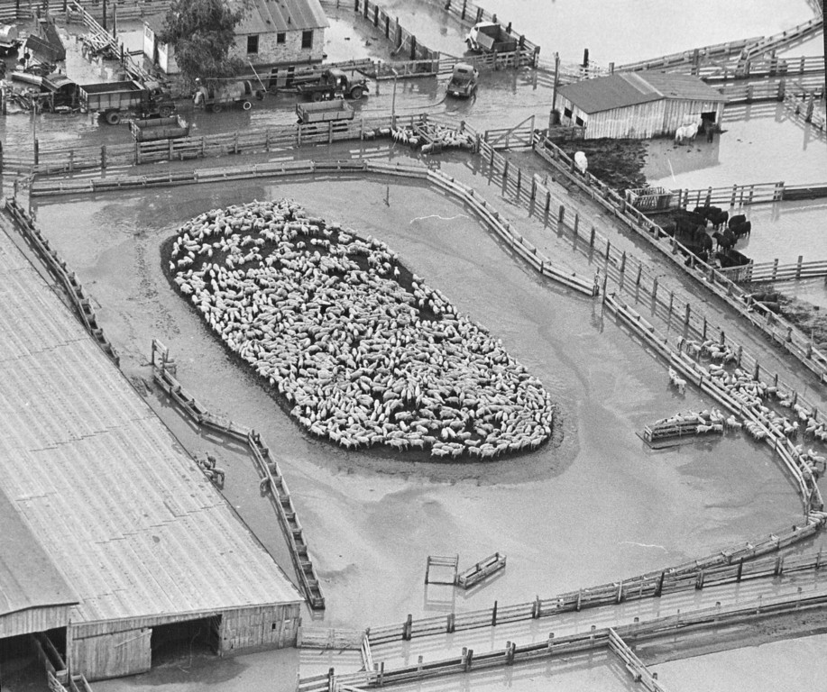 . JUN 17 1965 - Sheep crowd onto the high center, surrounded by flood water, in their pen at Denver Union Stock Yards Thursday. Some of the braver, or hungrier, sheep are at the feed trough at the right. (Ed Maker/ The Denver Post)
