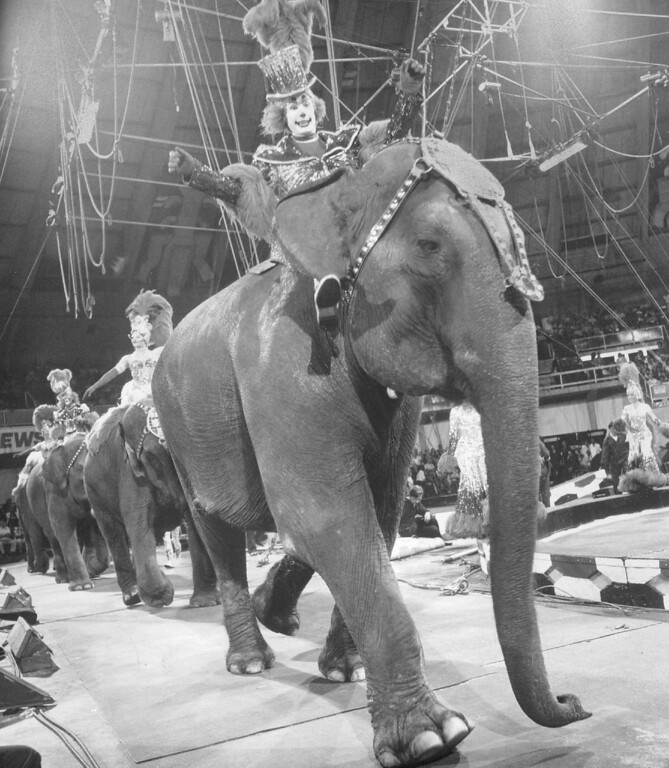 . AUG 24 1977 - Down the hippodrome track they come�Tons and Tons of Thundering Fun--the world renown performing pachyderms of The Greatest Show on Earth!!! (Denver Post digital archive photo)