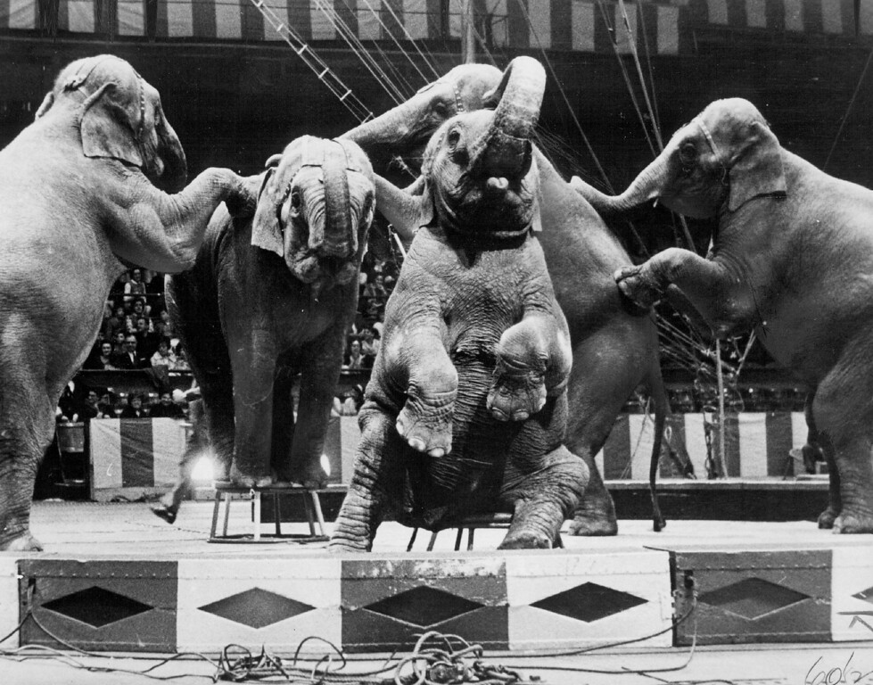 . AUG 23 1964 - Targa and her elephant kin display hidden terpsichorean talent in the Ringling Bros. and Barnum & Bailey circus which will play Denver\'s Coliseum five days. (Denver Post digital archive photo)