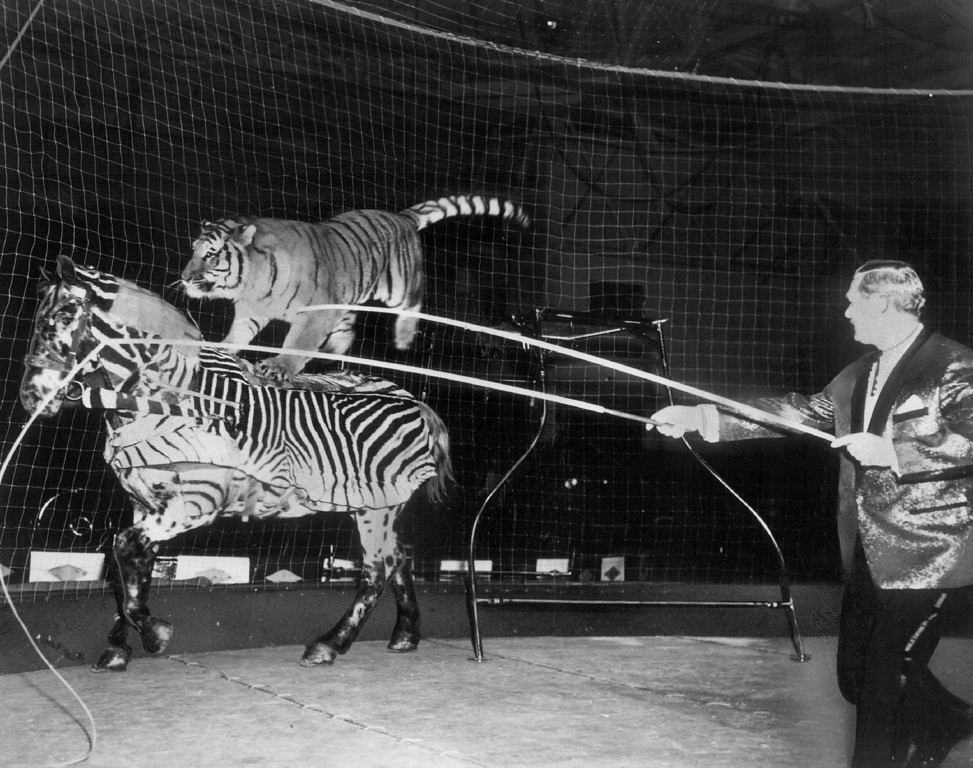 ". SEP 8 1966 - Billed as the ""most dangerous and dazzling animal act in circus history,\"" Adolph Althoff\'s Siberian tiger performs with and rides.on his mortal enemy, a horse, during the Ringling Brothers and Barnum & Bailey Circus, which winds up a five-day stand at the Denver Coliseum today. (Denver Post digital archive photo)"