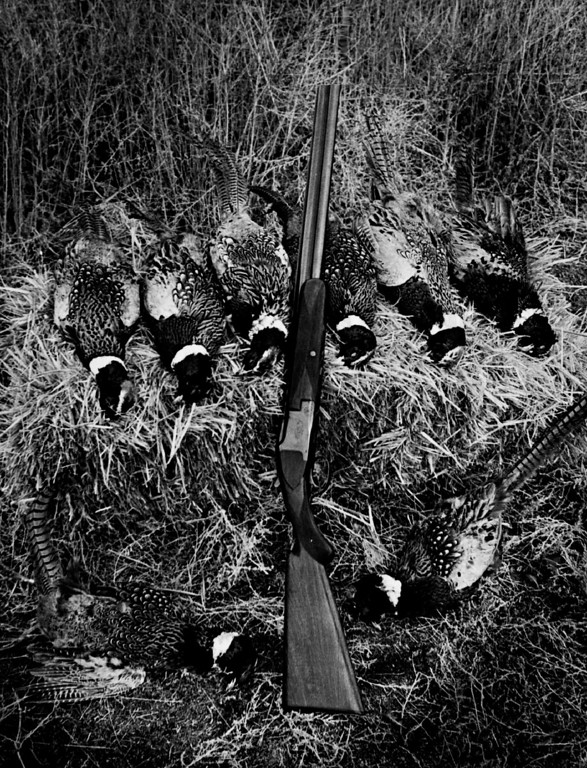. JAN 5 1976. A morning of preserve shooting produced this bag of Ringnecks. Hunters pay on a per-bird basis for the opportunity to work with their dogs and do some close-to-home shooting.  (Bob Saile/The Denver Post Archive)