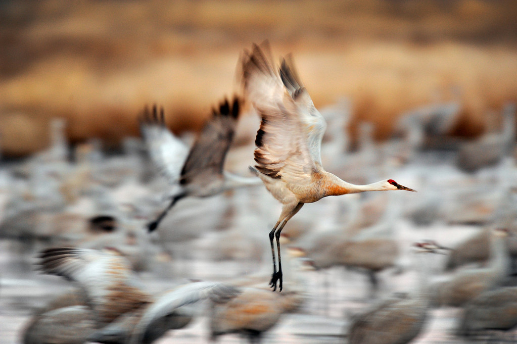 . The Monte Vista National Wildlife Refuge on Monday, March 7, 2011. More than 20,000 sandhill cranes will descend on the San Luis Valley this month as part of their annual spring migration north from Mexico. (Photo by AAron Ontiveroz, The Denver Post)