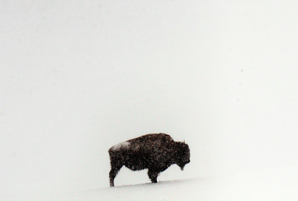 . Snow continues to fall in Genesee Park on a buffalo stand in a field of fresh snow, April 23, 2013. Year ago Denver created the bison park as a tourist attraction along Interstate 70. The bison were originally sourced from Yellowstone National Park, and are considered one of the country\'s wildest herds. (Photo By RJ Sangosti/The Denver Post)