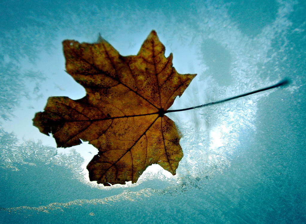 . A fall leaf is frozen to a car windshield in the early morning, Friday Nov. 18, 2005, in east Denver. (Photo by RJ Sangosti)