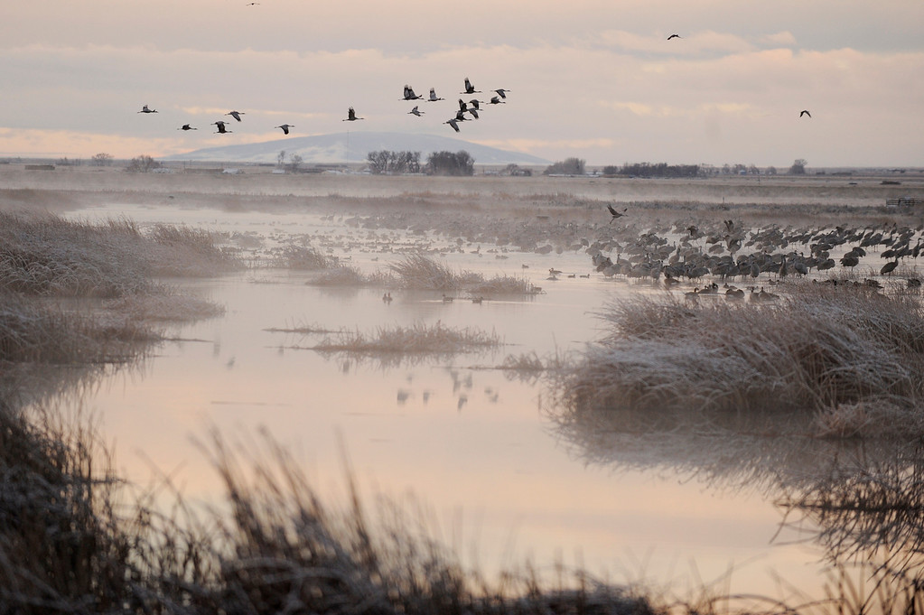 . A group of sandhill cranes takes flight as others prepare to take off at the Monte Vista National Wildlife Refuge on Tuesday, March 8, 201. More than 20,000 sandhill cranes will descend on the San Luis Valley this month as part of their annual spring migration north from Mexico. (Photo by AAron Ontiveroz, The Denver Post)