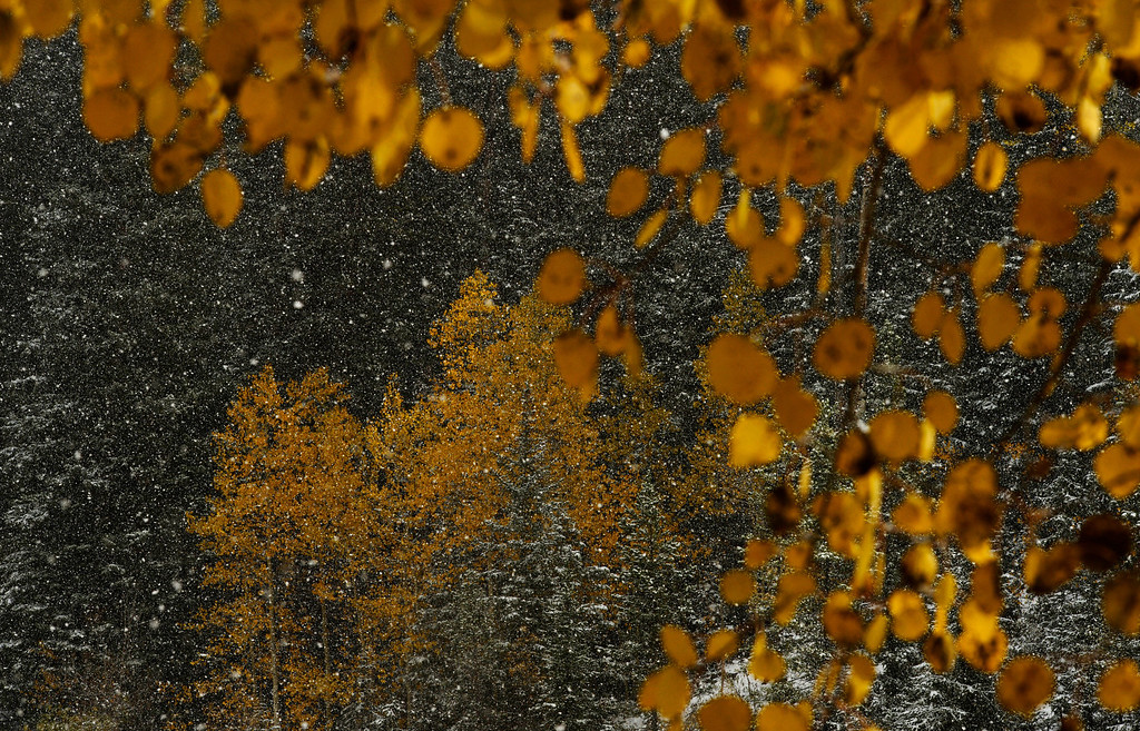 . The two seasons, fall and winter, collide as a snow storm moves into the Colorado mountains near Idaho Springs on October 4, 2013. The mountain could see up to a foot of snow from the storm. (Photo By RJ Sangosti/The Denver Post)