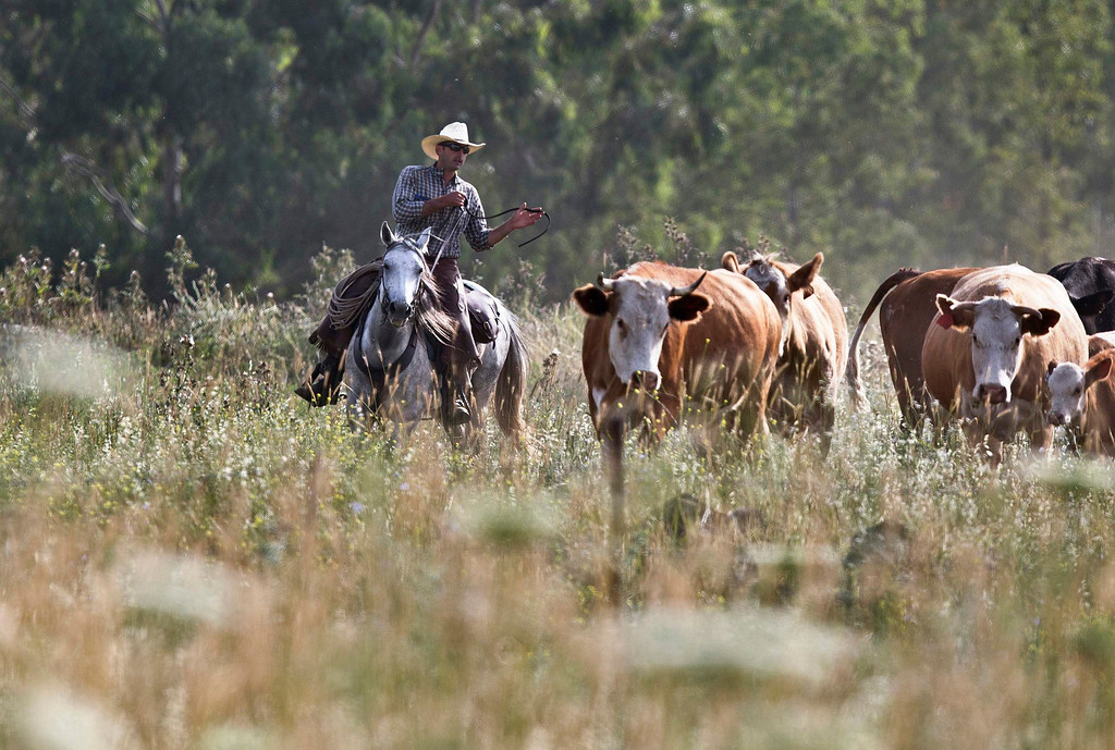 . Amit, an Israeli cowboy, tends cattle on a ranch just outside Moshav Yonatan, a collective farming community, about 2 km (1 mile) south of the ceasefire line between Israel and Syria in the Golan Heights May 2, 2013. REUTERS/Nir Elias