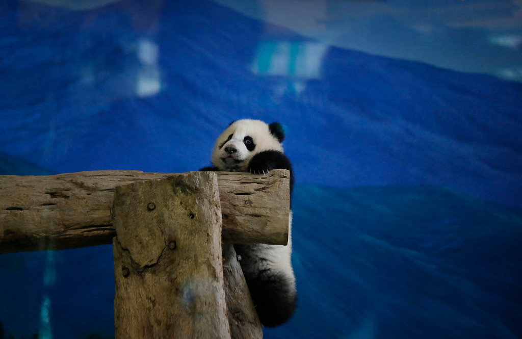 . Taiwan\'s six-month-old panda cub Yuan Zai hangs precariously from logs as she is viewed by the public for the first time at the Taipei Zoo in Taipei, Taiwan, Monday, Jan. 6, 2014. The panda cub, whose parents were gifts from China to Taiwan in 2008, was unveiled to her adoring public Monday, as long lines of children of all ages queued up at the Taipei zoo to see the cub cavorting around her enclosure. (AP Photo/Wally Santana)