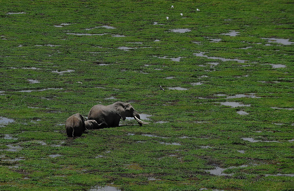 . Elephants graze on October 8, 2013 at Amboseli National Park, approximately 220 kms southeast of Nairobi. Kenyan and Tanzanian governments started on October 7 a joint aerial count of elephants and other large mammals in the shared ecosystem of the Amboseli-West Kilimanjaro and Natron- Magadi landscape. The one-week exercise, cost 104,000 US dollars, is a collaboration between the two countries and the Kenya  Wildlife Service (KWS), Tanzania Wildlife Research Institute (TAWIRI) and the African Wildlife Foundation (AWF) among others. TONY KARUMBA/AFP/Getty Images