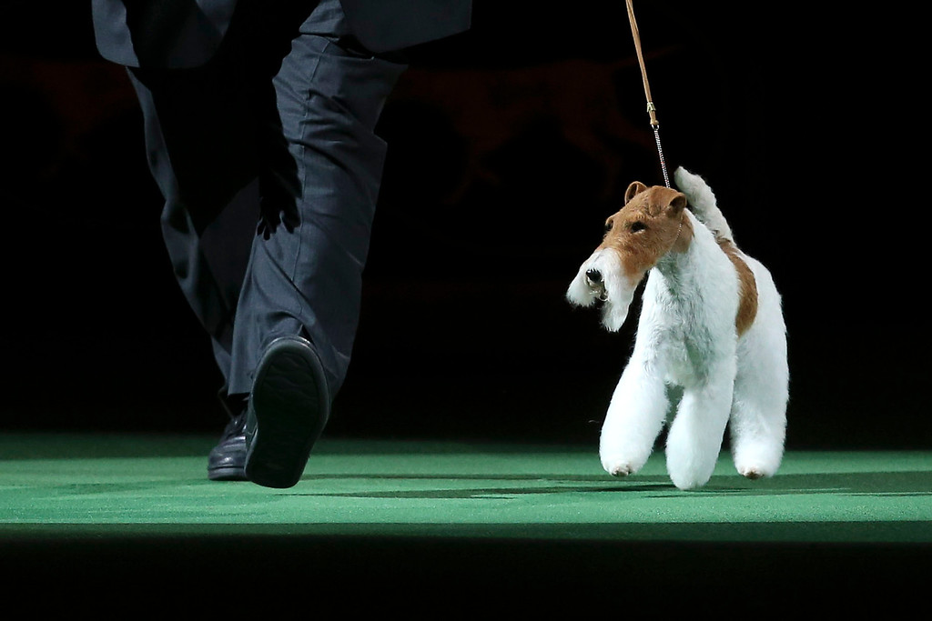 . Sky, a wire fox terrier, enters the ring during the best in show competition at the Westminster Kennel Club dog show, Tuesday, Feb. 11, 2014, in New York. Sky won best in show. (AP Photo/John Minchillo)