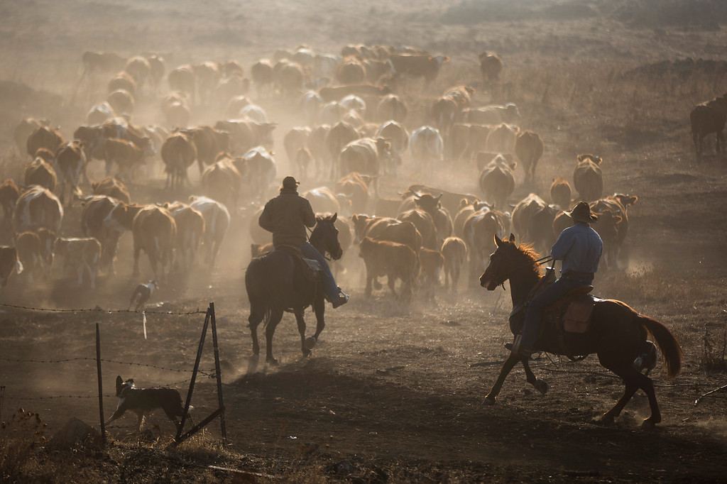 . Israeli cowboys shay zerbib and Wafik Ajamy ride their horses as they herd their cattle back to the Merom Golan ranch on November 14, 2013 in the Israeli-annexed Golan Heights. Israeli cowboys have been growing beef cattle in ranches on the Golan Heights disputed strategic volcanic plateau for over 30 years, Land which is also used by the Israeli army as live-fire training zones. The disputed plateau was captured by Israel from the Syrians in the 1967 Six Day War and in 1981 the Jewish state annexed the territory.   (Photo by Uriel Sinai/Getty Images)