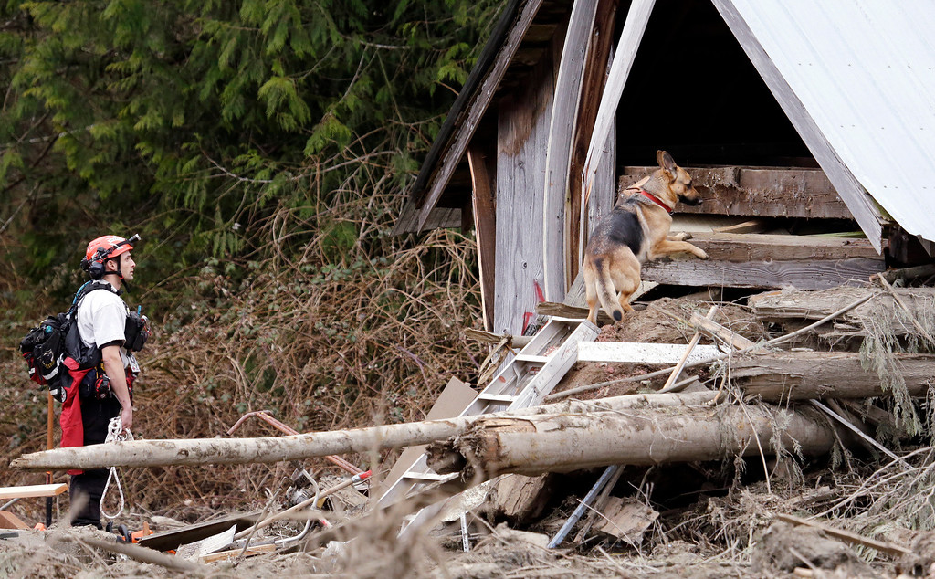 . Volunteer searcher Shayne Barco directs his dog Stratus into a structure destroyed in a deadly mudslide, Tuesday, March 25, 2014, in Oso, Wash.  (AP Photo/Elaine Thompson)