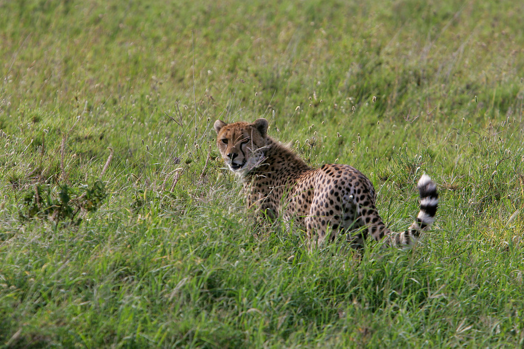 . A Cheetah hunts amid the grasses of Serengeti National Park, Tanzania, Africa.