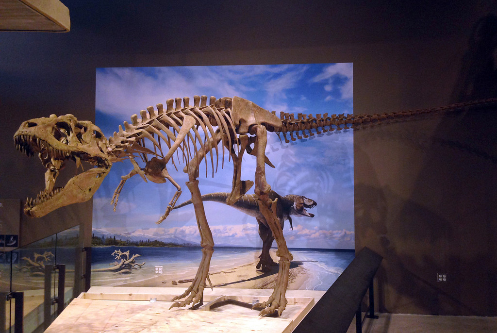 . This photo released by the Natural History Museum of Utah shows the fossilized skeleton of a newly-discovered dinosaur, Lythronax argestes, which was found in southern Utah, on the display at the museum in Salt Lake City.  The specimen is 24 feet (8 meters) long and 8 feet (2.4 meters) high. (AP Photo/Natural History Museum of Utah, Mark Loewen)