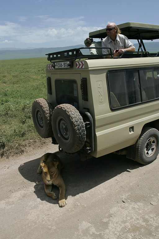 . A lion seeks shade in the shadow of a Land Cruiser n Ngorongoro Crater Conservation area in Tanzania, Africa.