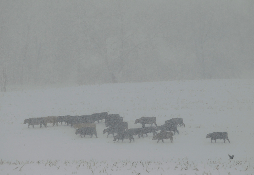 . Cattle seek shelter during a massive blizzard near Winchester, Virginia, outside of Washington, March 6, 2013.REUTERS/Gary Cameron