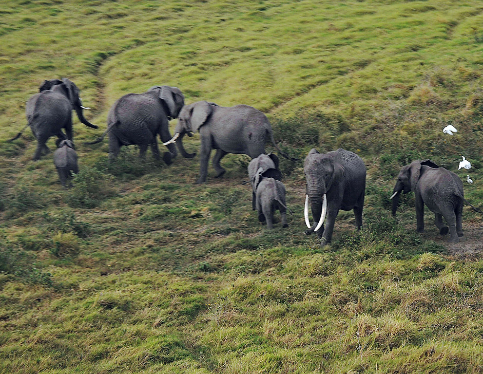 . Elephants react to an approaching airplane on October 8, 2013 at Amboseli National Park, approximately 220 kms southeast of Nairobi. Kenyan and Tanzanian governments started on October 7 a joint aerial count of elephants and other large mammals in the shared ecosystem of the Amboseli-West Kilimanjaro and Natron- Magadi landscape. The one-week exercise, cost 104,000 US dollars, is a collaboration between the two countries and the Kenya  Wildlife Service (KWS), Tanzania Wildlife Research Institute (TAWIRI) and the African Wildlife Foundation (AWF) among others. TONY KARUMBA/AFP/Getty Images