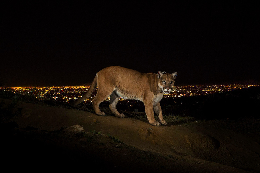 . This picture by US photographer Steve Winter, National Geographic won 1st Prize in Nature Stories category of the 57th World Press Photo Contest, it was announced by the organizers in Amsterdam, The Netherlands, 14 February 2014. It shows a cougar walking a trail in Los Angeles Griffith Park is captured by a camera trap. To reach the park, which has been the cougar\'s home for the last two years, it had to cross two of the busiest highways in the US.  EPA/STEVE WINTER / NATIONAL GEOGRAPHIC