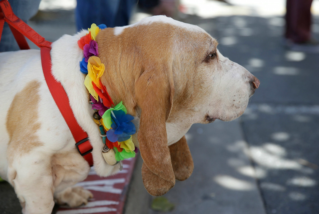 . Norman, a Basset Hound, watches the 44th annual San Francisco Gay Pride parade Sunday, June 29, 2014, in San Francisco. The lesbian, gay, bisexual, and transgender celebration and parade is one of the largest LGBT gatherings in the nation. Norman is owned by Ty and Theresa Strickland of San Francisco. (AP Photo/Eric Risberg)