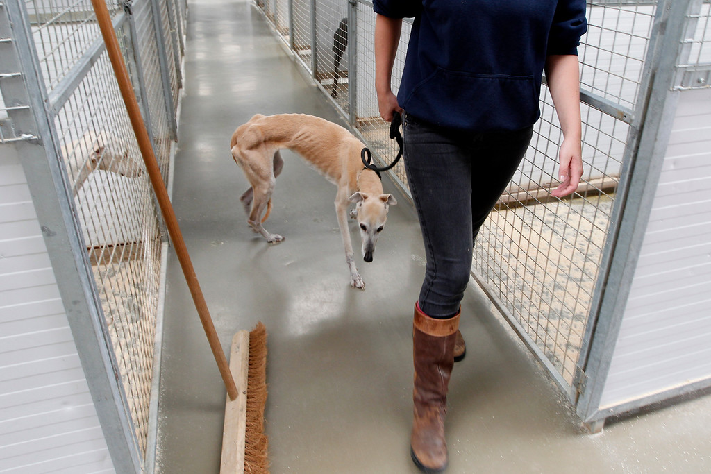 . Alice, an abandoned six year old greyhound who was found wandering the busy Doncaster Road, is led from her kennel at Tia Greyhound & Lurcher Rescue near Hebden Bridge, West Yorkshire July 29, 2011. Alice was flound infested with fleas and at about half her normal bodyweight. Picture taken July 29, 2011.  REUTERS/Chris Helgren