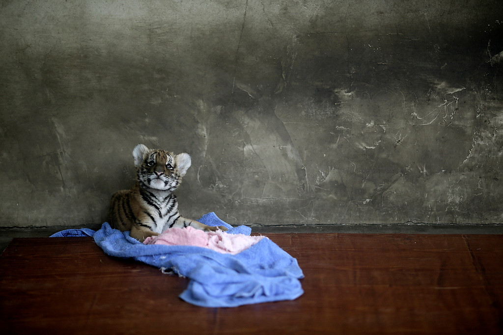 . A tiger cub rests at a nursery room at the Shanghai Zoo in Shanghai, China, Thursday Oct. 4, 2012. (AP Photo/Eugene Hoshiko)