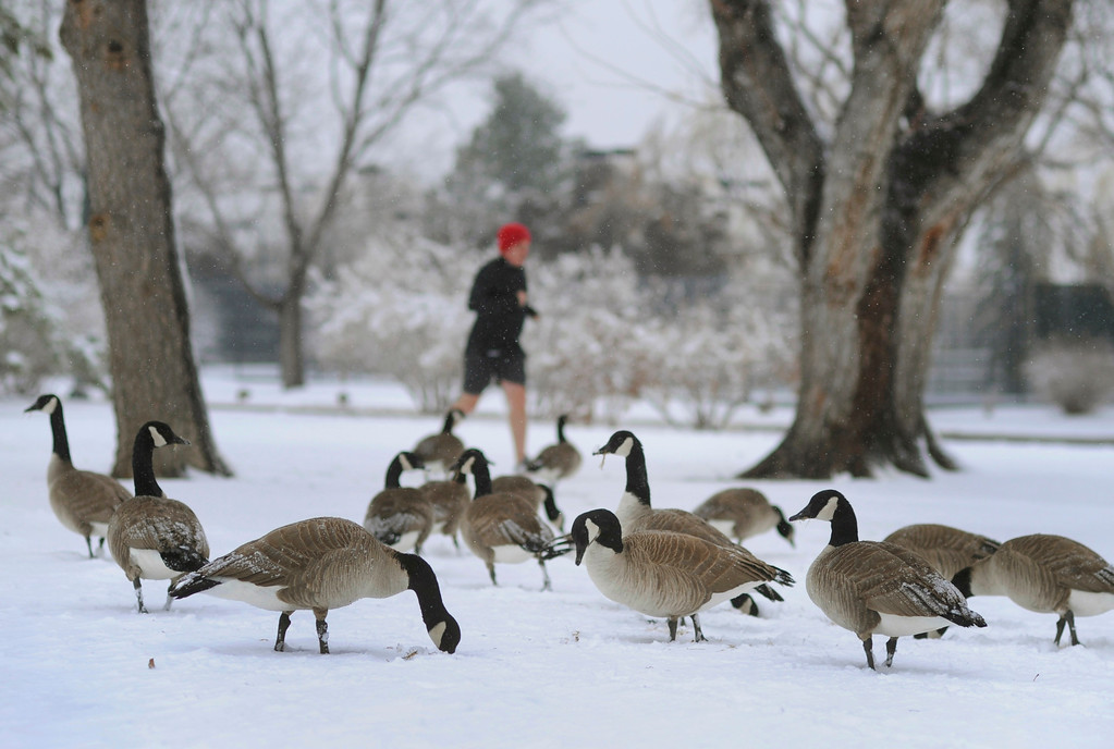 . DENVER, CO. - MARCH 9: Sean Patrick Murray went out for a run in Denver\'s Washington Park Saturday afternoon as a group of Canada geese foraged for something to eat. Heavy, wet snow continued to accumulate in Denver late Saturday afternoon, March 9, 2013. (Photo By Karl Gehring/The Denver Post)
